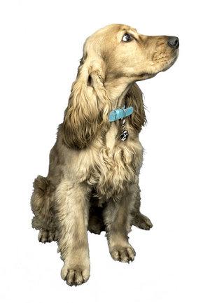 Le_collier_pour_chien_qui_affiche_l